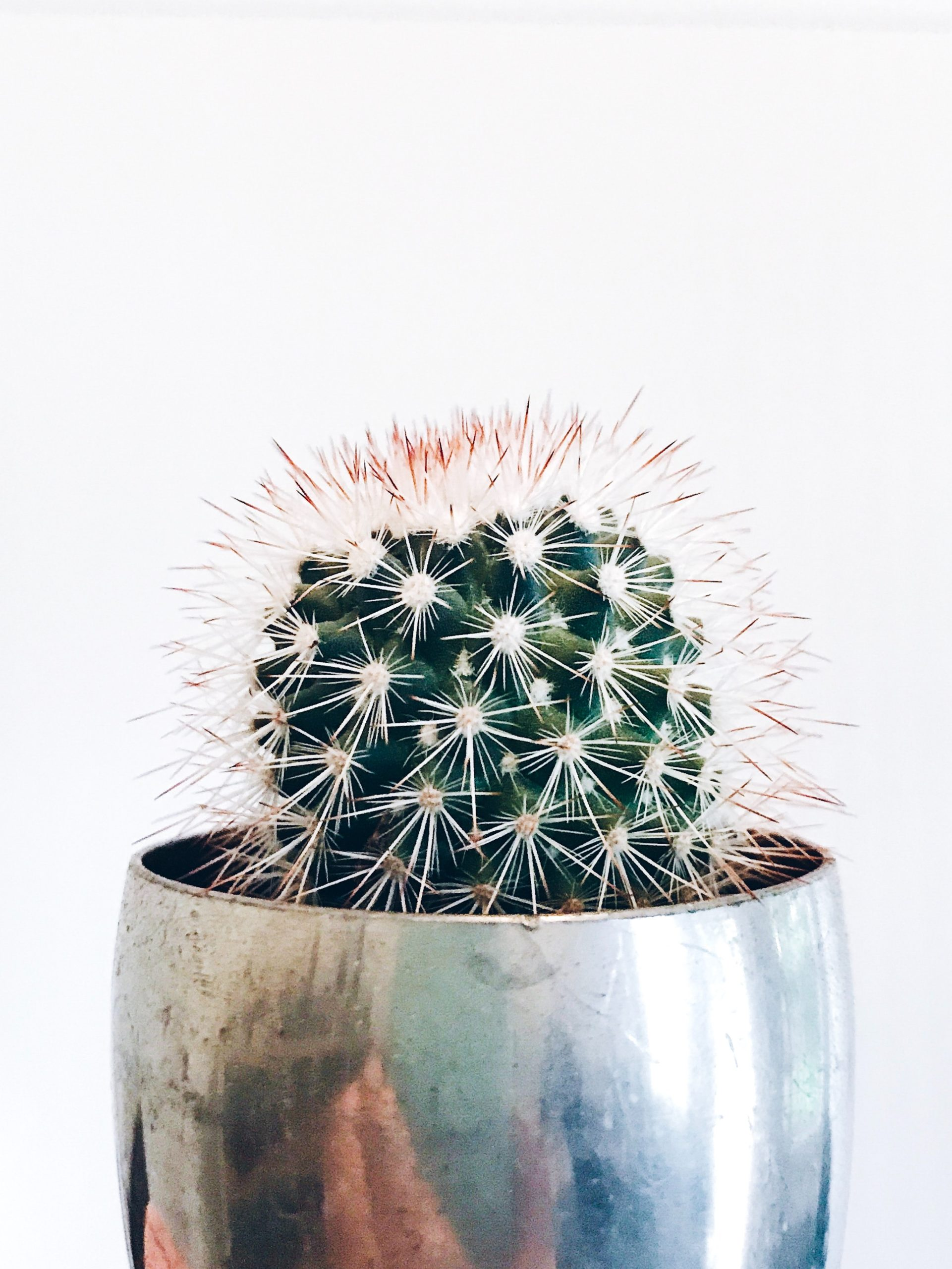 Small, prickly cactus with large spikes