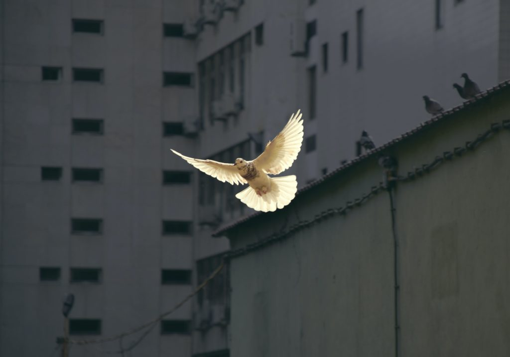 White peace dove flying in a city